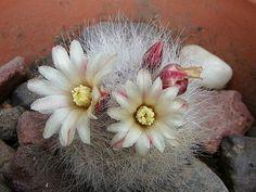 Mammillaria schwartzii