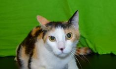 Curly is a super cute calico. She is only a year old and is in need of a good home.