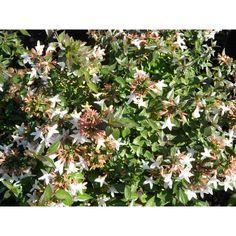 Abelia grandiflora 'Sherwoodii' - Shrubs - Plant Type - Boething Treeland Farms Planting Shrubs, Foliage Plants, Types Of Plants, Evergreen, Farms, Pink Flowers, Compact, Lavender, Survival