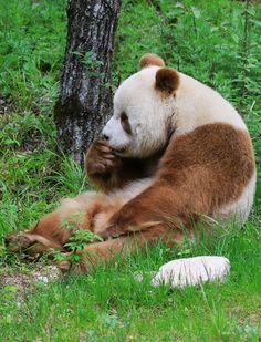 Qizai le panda marron né en 2009 mène paisiblement sa vie dans les monts Qinling, en Chine.