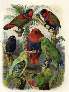 Anton Reichenow: Vogelbilder aus fernen Zonen. Papageien. Kassel, 1878-1883