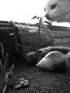 a flor da batata doce  é doce como a doce  flor   que inspira e pira   na flor  [Papoula Brasil]   pic: by Papoula Brasil