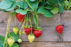 I thought my days as a temptress were long gone not realizing that when I filled the front border of my streetside raised boxes with strawberries I would be back in business. Years ago I attracted the boys at the school dance, today it's just about everybody. I know because I watch my delivery…