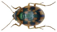Family: Carabidae Size: 4,6-6,5 mm Origin: Central Europe to Asia Minor and the Caucasus Ecology: on sandy shores unshaded Location: Italy, Lucca leg. det. U.Schmidt, 1973 Photo: U.Schmidt, 2008
