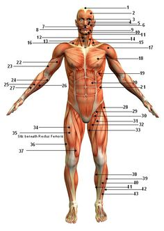 Muscle man diagram quiz electrical work wiring diagram muscles of the body quiz posterior view of superficial muscles rh pinterest com skeletal system diagram quiz muscle man labeled ccuart Gallery