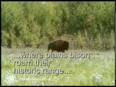 The only population of free-roaming, plains bison found in their historic range in Canada reside in the vicinity of the Sturgeon River in the southwest quart. Canada National Parks, Parks Canada, Fly Spray, Hills And Valleys, History Projects, Success Story, Prince Albert, Bison, Conservation