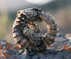 It's real and it's cute. The ouroboros is now officially my favorite animal. :D