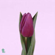 Tulips purple flag