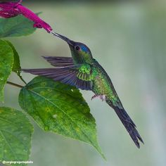 Thalurania glaucopis Violet-capped Woodnymph Beija-flor-de-fronte-violeta  Location: Morretes, PR, Brazil  #thaluraniaglaucopis #Morretes_PR_Brazil  #animalplanet #birdphotography #avesbrazil #backyard_dreams #nature_in_light #wikiaves #americasbirds #your_best_birds #eye_spy_birds #nuts_about_birds #bestbirdshots #bird_brilliance #birdextremefeatures #birdsmagazine #best_birds_of_ig #allmightybirds #pocket_birds #birds_matter #birds_illife #kings_birds #brwildanimals #ig_avesdobrasil…