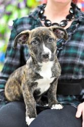 Kasey is an adoptable Mountain Cur Dog in Kentwood, MI. Meet Kasey - Kasey and his two siblings are about 10 weeks old. They came from an Ohio shelter. The breeds of these puppies are completely unkno...