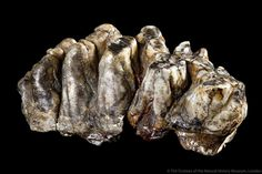 @NHM_London - Our #FossilFriday was once owned by William Smith - the tooth of a 'monstrous' mastodon: http://www.nhm.ac.uk/discover/monstrous-mastodon-molar.html