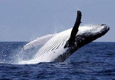 繁殖のためエクアドル・プエルトロペス沖に現れたザトウクジラ。 水生の哺乳類であるクジラは約80種が知られ、体長が30メートルを超えることもあるシロナガスクジラは地球上で最大の生物だ。前足が胸びれのように変化するなど水中生活に特化しており、北極から南極まで幅広く分布。マッコウクジラなどは1時間以上潜り続けることができ世界の海を広く回遊している。 クジラはヒゲクジラとハクジラに分類される。ヒゲクジラにはシロナガスクジラ、ミンククジラ、ザトウクジラ、セミクジラなどが含まれ、上あごにあるヒゲで主に動物性のプランクトンを海水から濾(こ)しとって食べている。一方、歯を持つハクジラのエサはイカや魚類などで、マッコウクジラ、ゴンドウクジラのほかシャチやイルカも仲間だ。