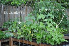 how to grow cucumbers and green beans in your backyard. click to learn about a new unique way to garden.