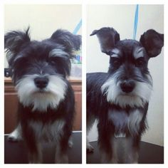 Schnauzer puppy before and after.