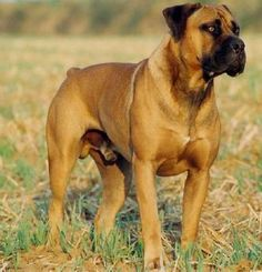 The Boerboel, or South African Mastiff, was bred specifically for guarding the… Huge Dogs, I Love Dogs, South African Boerboel, Mastiff Dogs, Mastiff Breeds, Farm Dogs, Bully Dog, Large Dog Breeds, African Animals