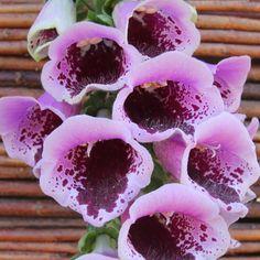 120 to 150cm FOXGLOVE SUGAR PLUM Foxglove 'Sugar Plum' - Cottage Garden Plants - Van Meuwen