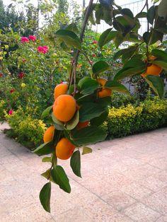 A persimmon branch in a Tehrani backyard (shakheye  derakhte khormaloo in someone's baghcheh)