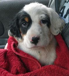 I wonder if Oreo looked like this as a puppy...I'd love to see her as a pup