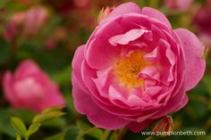 The Festival of Roses at The RHS Hampton Court Palace Flower Show 2015 - Pumpkin Beth Cut Flowers, Pink Flowers, Paper Flowers, David Austin Rosen, Hampton Court Flower Show, Open Rose, Beneficial Insects, Buy Plants, Garden Show