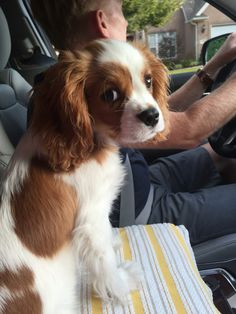 Who me?! King Charles Puppy, King Charles Spaniel, Cavalier King Charles, Happy Animals, Animals And Pets, Cute Animals, Cute Puppies, Cute Dogs, Dogs And Puppies