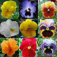 nine pansies | © All rights reserved. No usage allowed in an… | Flickr