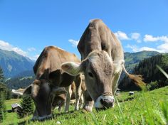 Brown Swiss out to pasture...Austria