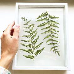 Beautiful fern leafs floating in a large white frame ---------- Prachtige varen bladeren tussen glas in een witte lijst [by Mila's Frames]