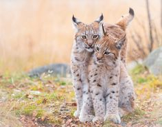 Sisters - Irja (to the left) and Iben (to the right) are 4 months old Eurasian lynx sisters.