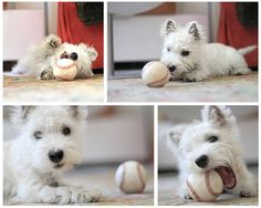westie and baseball