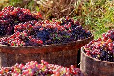 -ITALIA- Harvest 2015 in Italy  by Francesco-Welcome and enjoy- - #Expo2015 #WonderfulExpo2015 #ExpoMilano2015 #Wonderfooditaly #MadeinItaly #slowfood #FrancescoBruno    @frbrun  http://www.blogtematico.it  frbrun@tiscali.it    http://www.francoingbruno.it