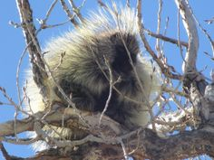 Porcupine at Edness Kimball Wilkins State Park by Rich Weaver