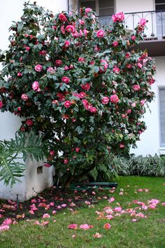 I have to have at least one camelia bush. There were two in my grandparents' front yard. Shade Garden, Garden Plants, Japenese Garden, Garden Front Of House, Yard Crashers, House Landscape, Garden Inspiration, Garden Ideas, Gardens