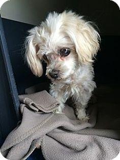 Orange, CA - Maltese. Meet Cotton, a dog for adoption. http://www.adoptapet.com/pet/12971759-orange-california-maltese
