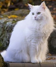 Turkish Angora - The long coat of the Angora is like no other coat, with a sensuously silky, luxurious texture. Angoras are fine-boned felines, and surpass many other breeds when it comes to playfulness and affection. They quickly form devoted attachments to their owners, lavishing adoration.
