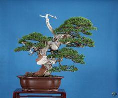 Bonsai galerij - Bonsai Empire