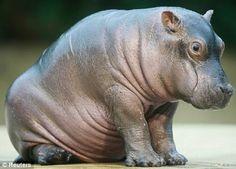 Baby Hippopotamus | animals baby hippopotamus hipopotamo bebe