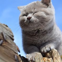 #cat #cats #catsagram #catstagram#instagood #kitten #kitty #kittens #pet #pets #animal #animals #petstagram #britishshorthair#котенок  #британец #britishcat #catsofinstagram #excellent_cats #catlive #bestcats #instacat #topcatphoto #bsh #катэ #bkh #nature by leonardo_dicat