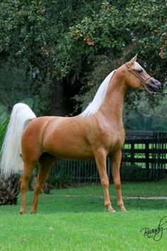 Goldie Fawn - looks like a palomino Arabian but she isn't. The cream gene does not exist in the breed, so no purebred Arabian can be palomino, buckskin, etc. This mare is a part-bred Arabian, one parent with the gene. Beautiful Arabian Horses, Majestic Horse, Most Beautiful Animals, Pretty Horses, Horse Love, Beautiful Creatures, Palomino, Golden Horse, Arabian Beauty