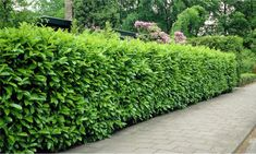 Gardening Express: 5, 10 or 20 Evergreen Laurel Hedge Plants from £49.99 With Free Delivery (Up to 70% Off)