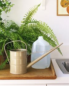 Houseplants need a healthy diet, and you can help by giving them clean water. Fill jugs with tap water, and leave the caps off for at least forty-eight hours. Some chlorine will evaporate, leaving purer water. As a result, plants will absorb nutrients more easily. martha stewwart living