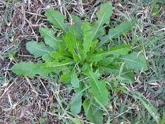 wild lettuce painkiller