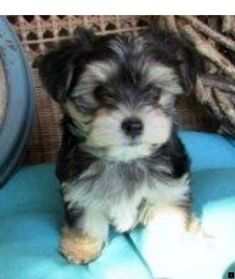 Morkie puppies for sale in Ohio – Columbus, Cincinnati, Dayton