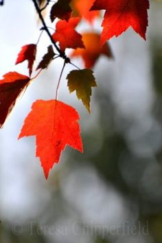 """Fine Art Photography - """"Red Fall Leaves"""" - Photos by Chipperfield via Etsy #fpoe"""