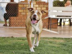 Dogs and Puppies for Adoption: Molly! American Pit Bull Terrier, Female, 2 years old.