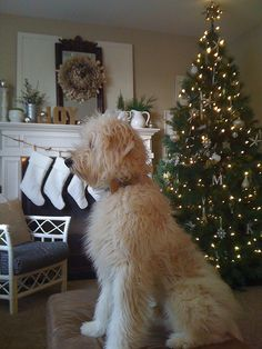 Jack the Goldendoodle at Christmas. The ultimate snuggle puppy! Cute Puppies, Cute Dogs, Dogs And Puppies, Doggies, Poodle, Animals And Pets, Cute Animals, Labradoodles, Goldendoodles