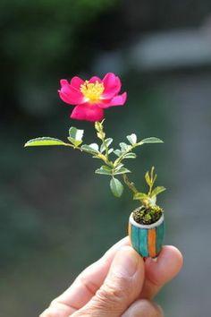 超ミニ薔薇盆栽 花が咲いた! : 素晴らしき薔薇盆栽の世界 日本に生まれてきてよかったと思える32枚の画象。 - NAVER まとめ