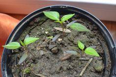Chili pflanzen - im Garten oder auf dem Balkon. Chilis sind einfache Pflanzen, die man in der Gartenerde, im Gewächshaus, Hochbeet oder in Blumentöpfen anbauen kann. Sie sind so hübsch, dass sie immer zur Deko dienen. Hier erfährt ihr, wie ihr die Chilis pflanzt, ob sie winterhart sind und wie ihr eine besonders scharfe Chilischote erntet #chili #biogemüse #gemüseanbauen #gemüsegarten Garden, Plants, Zero Waste, Terrace, Planting, Balcony House, Balcony, Garten, Patio