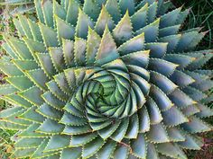 Many succulents are so architectural that even one perfect specimen makes a bold statement! (Shown: Spiral Aloe zones 7-9) (Pic: by hawsumb)