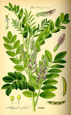 Regaliz Glycyrrhiza glabra0.jpg