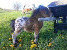 Cute baby Appaloosa horse ♡♡